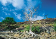 Cape York Tree